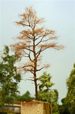 Fyrretræ